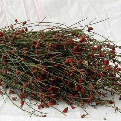 GINESTRA BACCHE ROSSE
